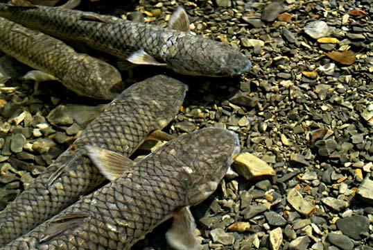 рыбы Крыма - Пиленгас